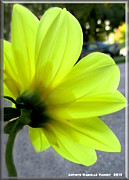 Yellow Dahlia Bloom Print by Danielle  Parent