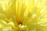 Nature Center Digital Art Posters - Yellow Dahlia Burst Poster by Ben and Raisa Gertsberg