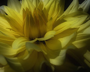 Smilin Eyes  Treasures - Yellow Dahlia Flower...