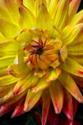 Yellow Flowers Posters - Yellow dahlia  Poster by Garry Gay