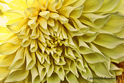 Yellow Dahlia Print by Laurinda Bowling