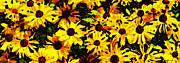 Art Buyers Prints - Yellow Daisies - Flower Art By Sharon Cummings Print by Sharon Cummings