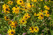 Yellow Daisies In Tall Grass Prairie Madison County Iowa Print by Robert Ford