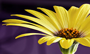 Barbara Smith Metal Prints - Yellow Daisy Metal Print by Barbara Smith