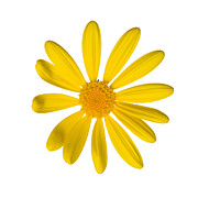 Disk Flowers Prints - Yellow Daisy Print by Ei Katsumata