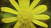 Claudette DeRossett - Yellow Daisy Expression
