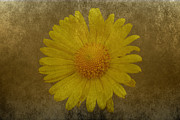 Lynn Bolt - Yellow Daisy