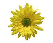 Yellow Daisy  Print by Mauro Celotti