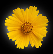 Flowers Photos - Yellow Daisy by Tony Cordoza