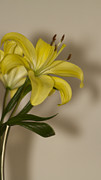 Thrive Prints - Yellow Day Lily Print by Anne Rodkin