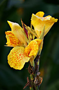 Canna Photos - Yellow Explosion by Leda Robertson