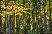 Featured Metal Prints - Yellow Fall Birch Leaves Against An Metal Print by Joel Koop