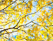 Yellow Leaves Prints - Yellow Fall Leaves Print by Sonja Quintero