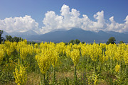 Mullein Plant Posters - Yellow field of Mullein with Pirin Mountains Poster by Kiril Stanchev