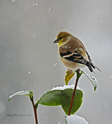 Denise Romano - Yellow Finch