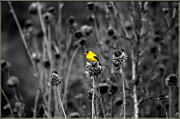Jens Larsen - Yellow Finch