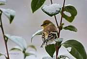 Denise Romano - Yellow Finch On Branch