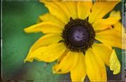 Yellow Flower Art - Sun Worshiper By Sharon Cummings  Print by Sharon Cummings