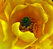 Mikki Cucuzzo - Yellow Flower Closeup