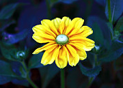 Quebec Places Prints - Yellow Flower in Montreal Print by John Rizzuto