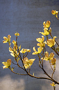 Blossoming Tree Prints - Yellow Flowering Dogwood Print by Charline Xia