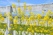 Yellow Flowers Posters - Yellow Flowers and a White Fence Poster by Bill Cannon