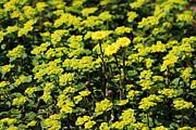 Alex Sukonkin - Yellow flowers carpet