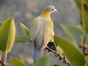 Ramesh Chand - Yellow footed green...