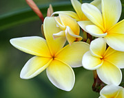Macro Art Posters - Yellow Frangipani Flowers Poster by Sabrina L Ryan