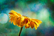 Gerbera Art - Yellow Gerbera by Chuck Underwood