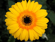 Joanna Williams - Yellow Gerbera