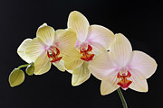 Orchid Artwork Prints - Yellow Grace Print by Juergen Roth