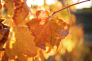Grapevine Autumn Leaf Prints - Yellow Grape Leaves Print by Charmian Vistaunet