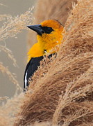 Paul Marto - Yellow-headed Blackbird...