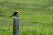 Linda Albonico - Yellow-headed Blackbird