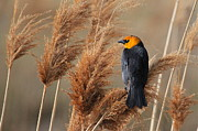 Paul Marto - Yellow-headed Blackbird