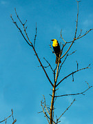 Bird Photography Photos - Yellow-headed Blackbird by Robert Bales