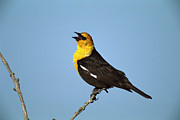 Blackbird Photos - Yellow-headed Blackbird Singing by Tom Vezo