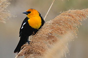 Paul Marto - Yellow-headed Blackbird V
