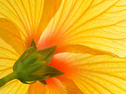 Laurent Lucuix - Yellow Hibiscus Backlit...