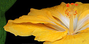 Digital Art Acrylic Prints - Yellow Hibiscus. Detail by Ben and Raisa Gertsberg