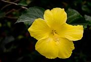Laurel Best - Yellow Hibiscus