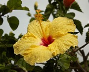 Bonita Hensley - Yellow Hibiscus Raindrops