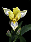 Photographic Art For Sale Photos - Yellow Iris by Andrew Govan Dantzler