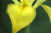 Deborah Smith - Yellow Iris 