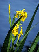 Yellow Irises Print by Noreen HaCohen