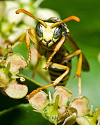 All - Yellow Jacket Stare by Jaci Harmsen