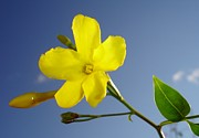 Jessamine Prints - Yellow Jasmine Flower and Bud Against Blue Sky Print by Tracey Harrington-Simpson