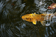 Fish Artwork Posters - Yellow Koi 1 Poster by Linda Fowler