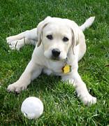 Ball Room Posters - Yellow Lab Puppy Got A Ball Poster by Irina Sztukowski